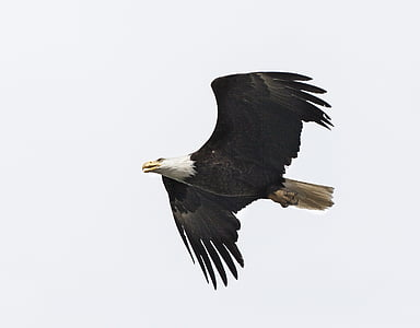 photo of bald eagle flying during daytime