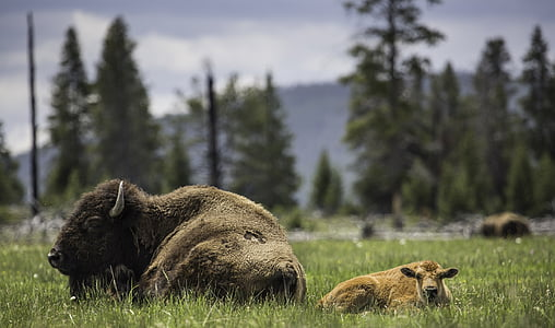 shallow focus photography of bison lying on green grass