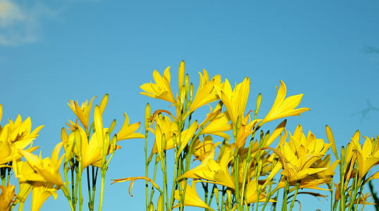 yellow petaled flowers under blue and white sky