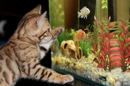 photo of brown tabby kitten looking at fish tank