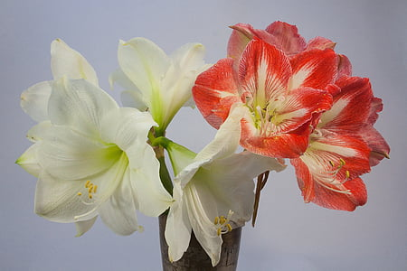 white and red amaryllis flowers in bloom