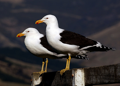 two ring-billed gulls perched on gray wooden railings