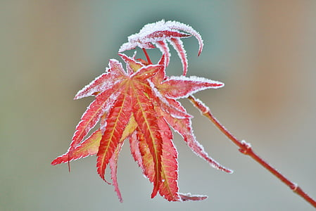 focus photography of red leaf plant