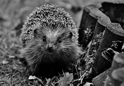 greyscale photo of hedgehog