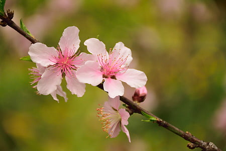 selective focus photography of cherry blossom