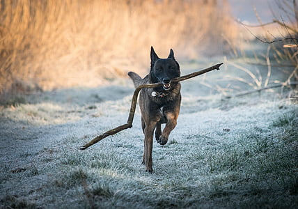 adult black and brown Belgian malinois carrying fetch stick