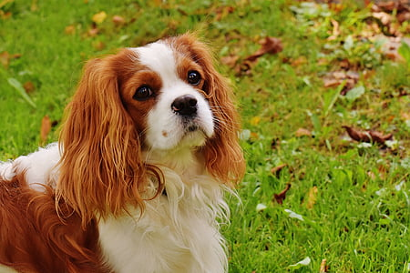 adult King Charles Spaniel walking on a green grass