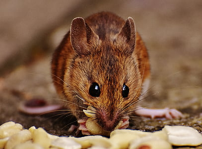 rodent eating peanut
