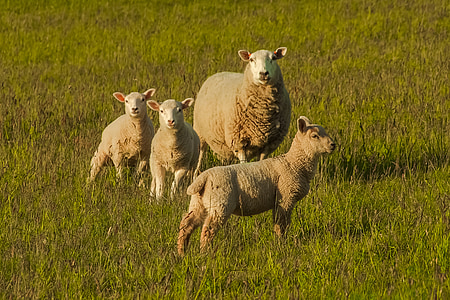 four brown sheep standing on green grass