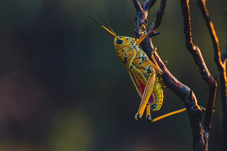 yellow and red grasshopper on brown branch