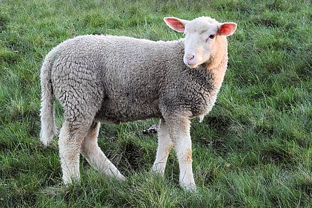 gray and white sheep