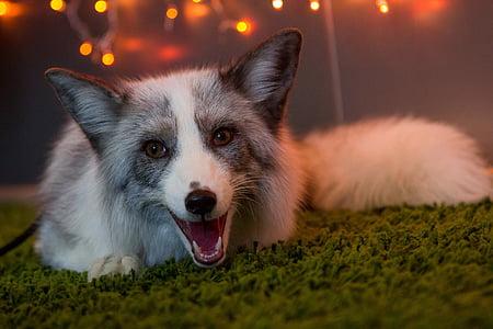 white and gray fox