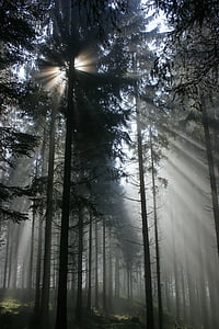 sun rays seeping through pine trees in forest