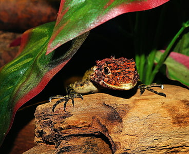 red and brown lizard