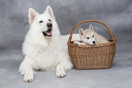 white Siberian husky with puppy on basket