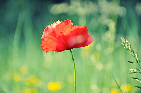 closeup photo of red poppy flower