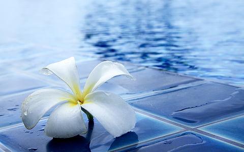 white plumeria flower on pool side