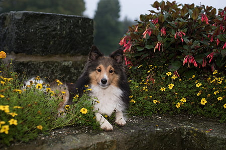 black and white Shetland sheepdog prone lying beside flower plants at daytime