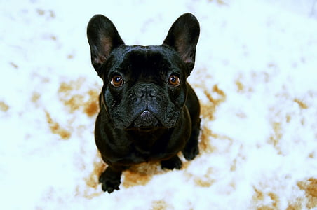 black French bulldog sitting on white cloth