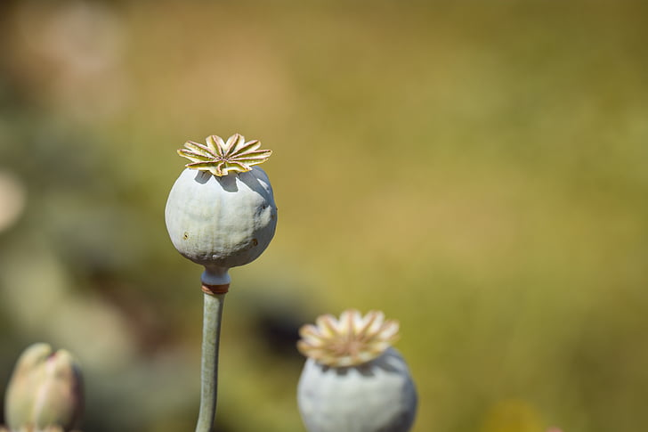close-up photography of green poppy flower buds