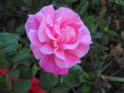 pink rose in bloom at daytime