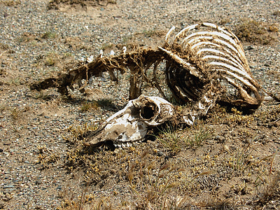 animal skeleton on field