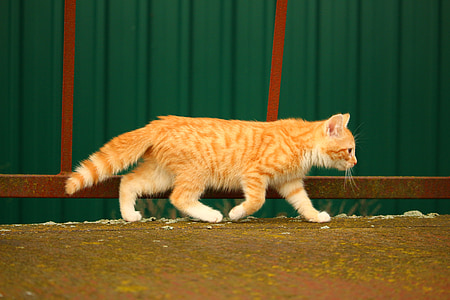 orange tabby cat walking on street