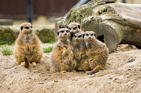 five brown meerkats