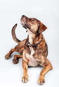 short-coated tan and black dog