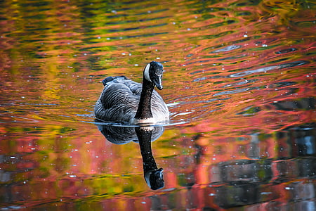 gray swan on water