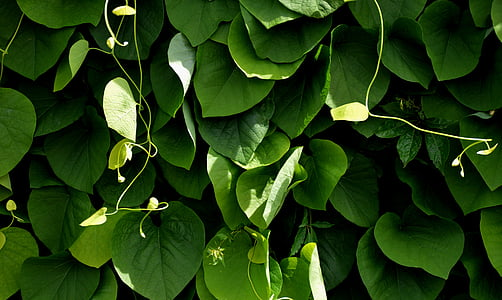 closeup photograph of green vine plants