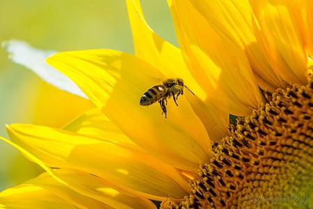yellow and black bee near yellow sunflower closeup photo