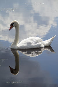 reflection of swan on calm water under gray sky during daytime