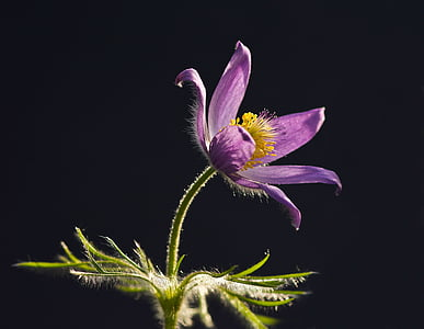 selective focus photography of purple Pulsatilla flower