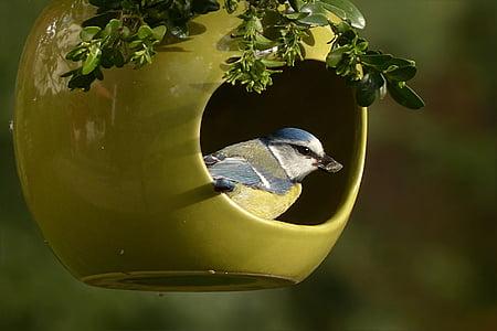 blue tit, cyanistes caeruleus, bird, small bird, garden, foraging