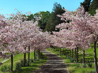 pink cherry blossom trees inline photo taken during daytime