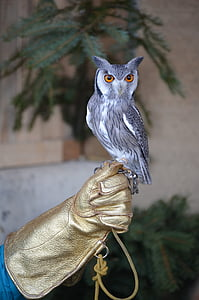 owl perch on human hand