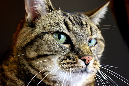 brown tabby cat's face