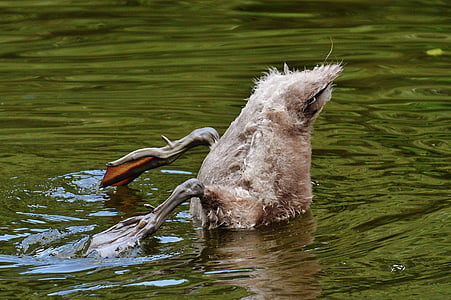 gray duck about to swim underwater