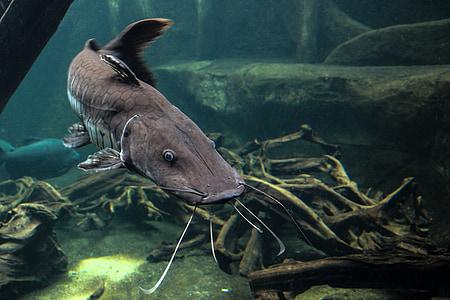 brown beluga fish