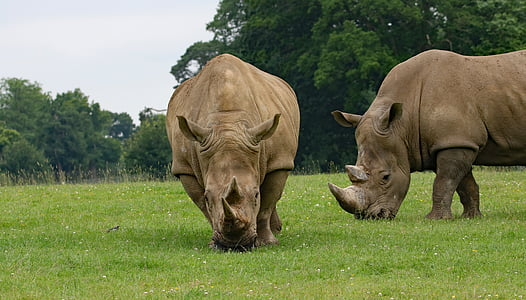 two rhinoceros on grass fields