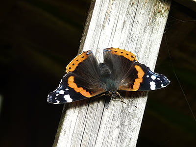 selective focus photography of black and white admiral butterfly