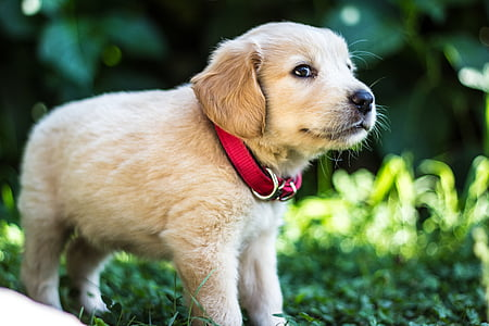 golden retriever puppy standing on green grass during daytime