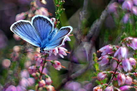 common blue butterfly perching on pink bleeding heart flower in close-up photo