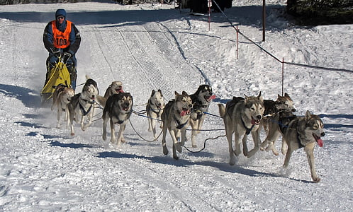 gray dogs running on snow path