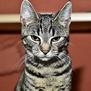 gray and black tabby cat close-up photo