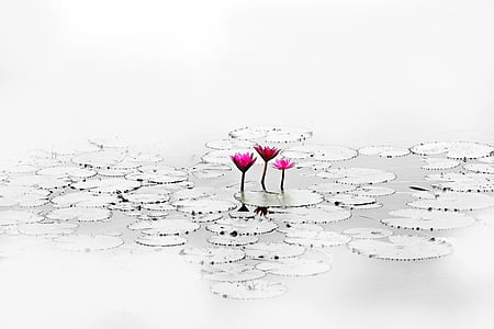 three pink flowers on water