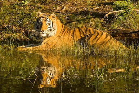 Tiger resting on a water hole