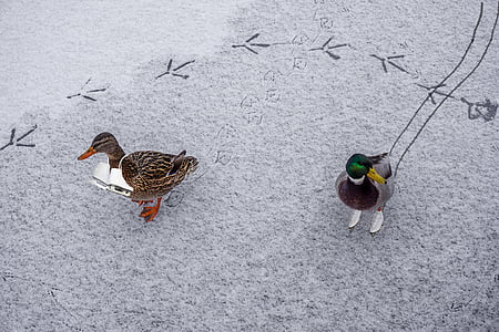 two male and female mallard ducks on gray sands
