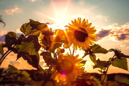 yellow sunflowers on focus photo
